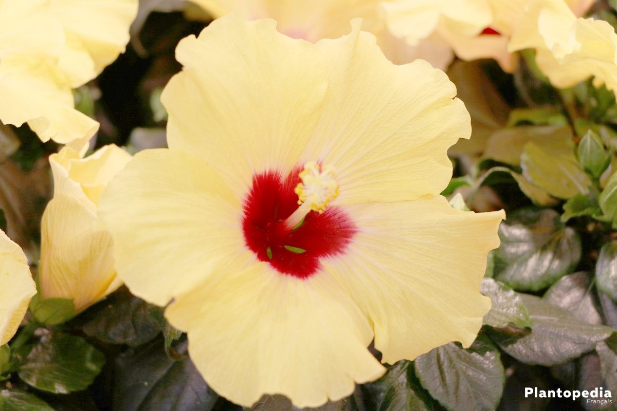 Hibiscus Fleur D Intérieur Et Jardin Plantation Entretien Et