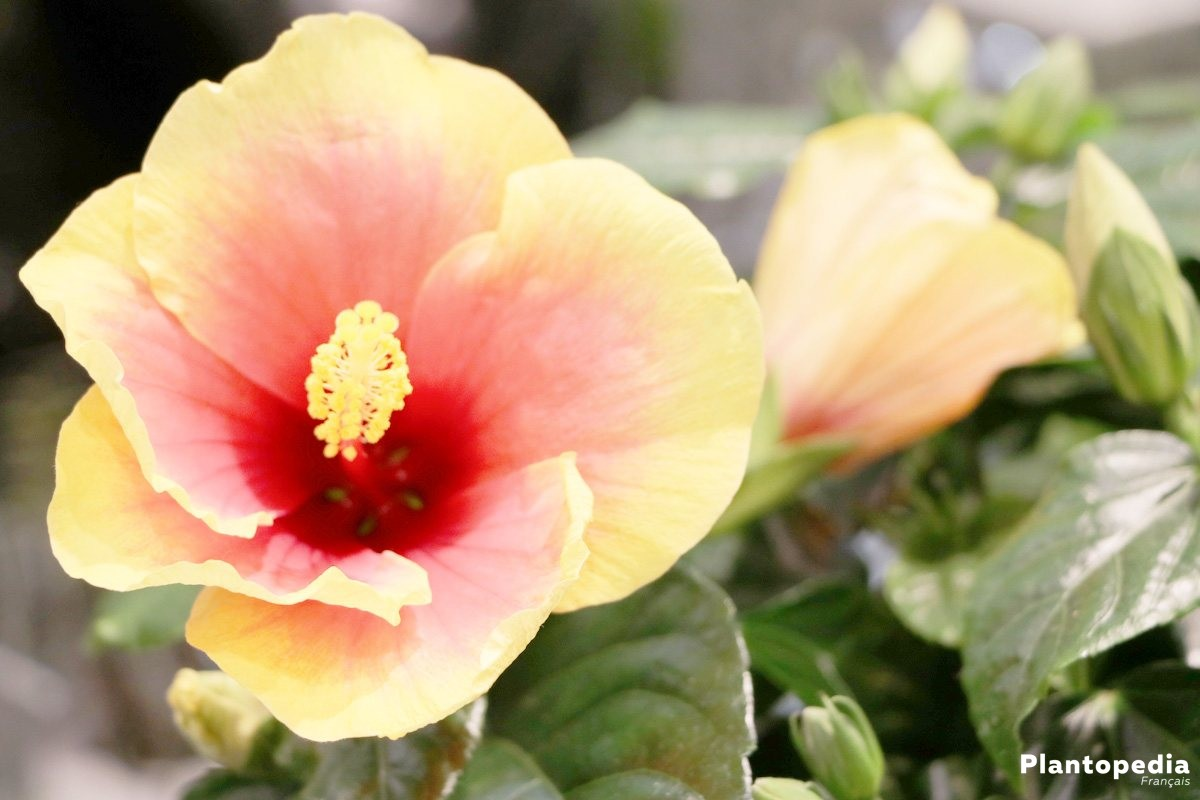 Hibiscus fleur d intérieur et jardin - plantation, entretien et ...