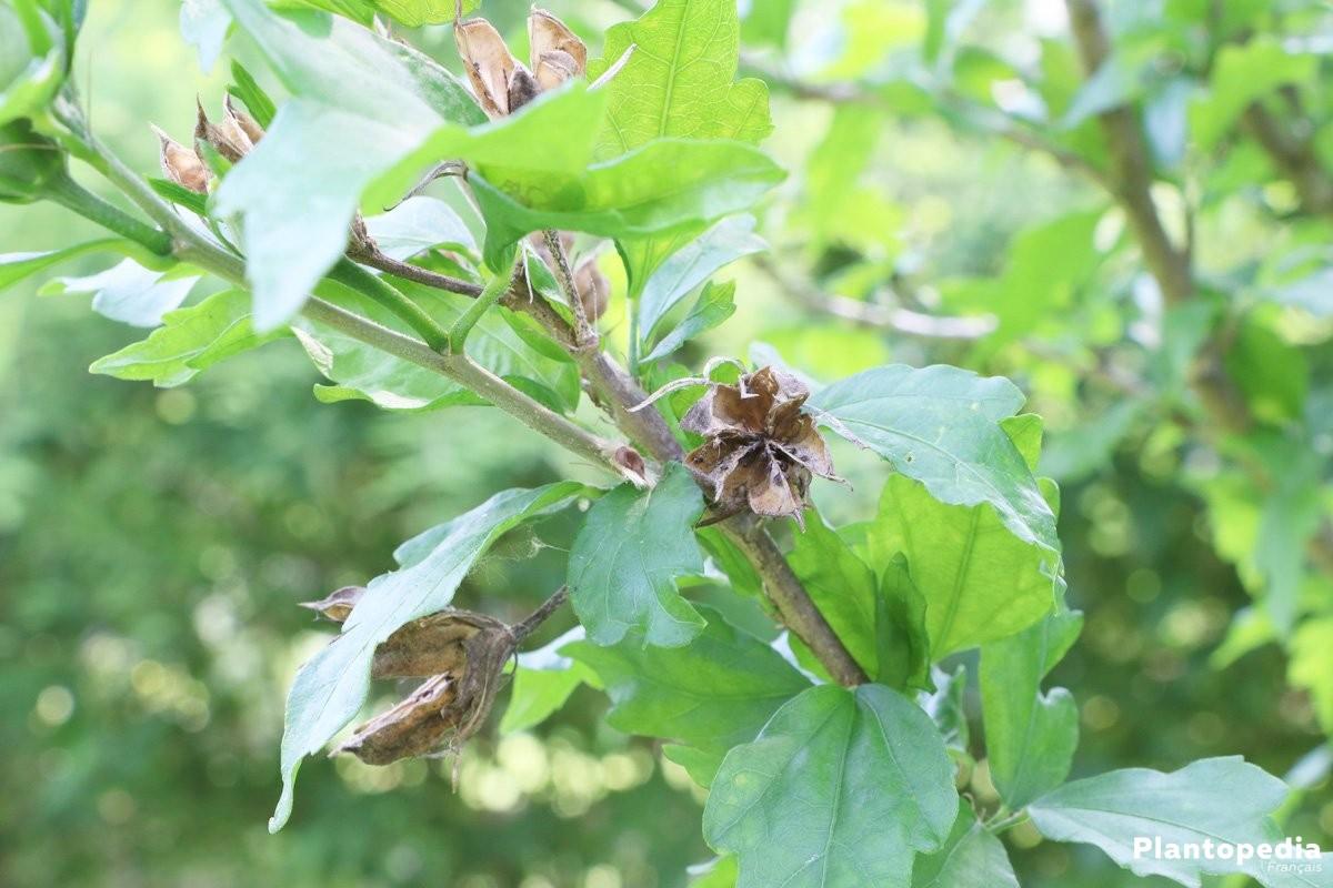 Hibiscus fleur d intérieur et jardin - plantation, entretien ...
