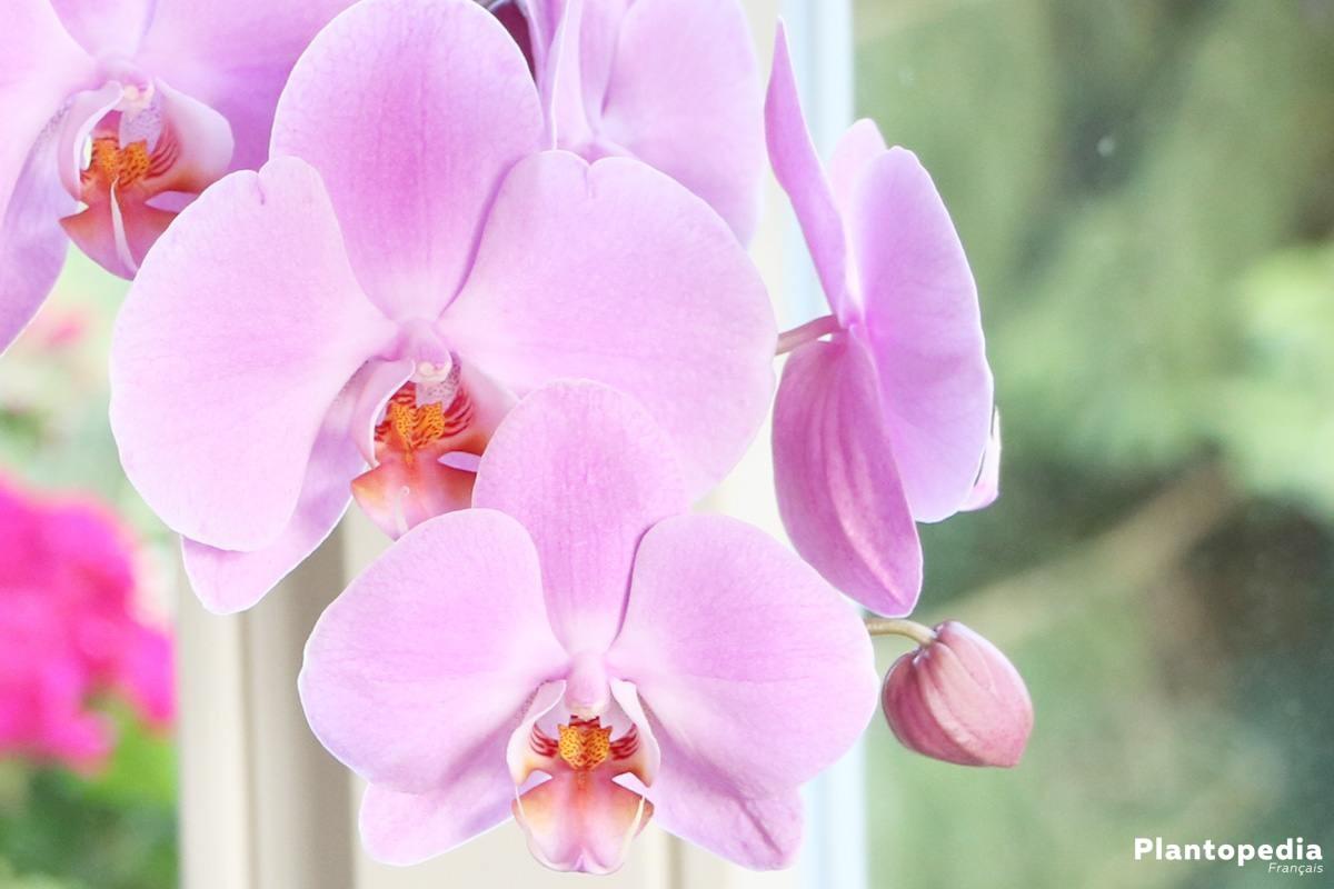 Phalaenopsis, Orchidée papillon