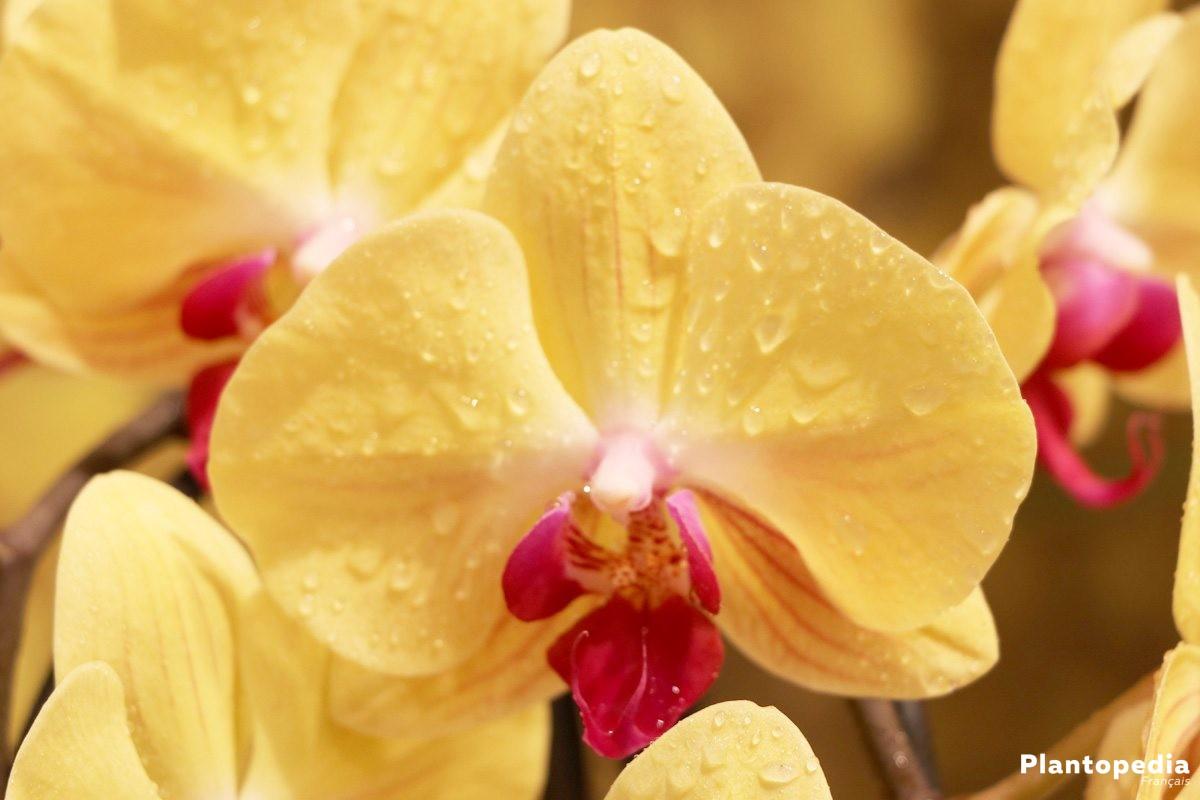 phalaenopsis orchid e papillon conseil et entretien. Black Bedroom Furniture Sets. Home Design Ideas
