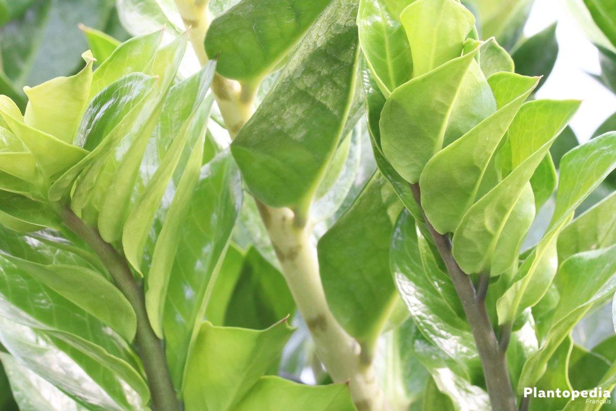 zamioculcas zamiifolia entretien arrosage et feuilles jaunes plantopedia. Black Bedroom Furniture Sets. Home Design Ideas