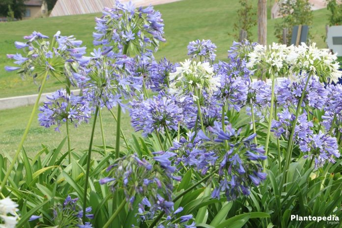 The Lily Of Nile Flower Agapanthus Plant How To Grow