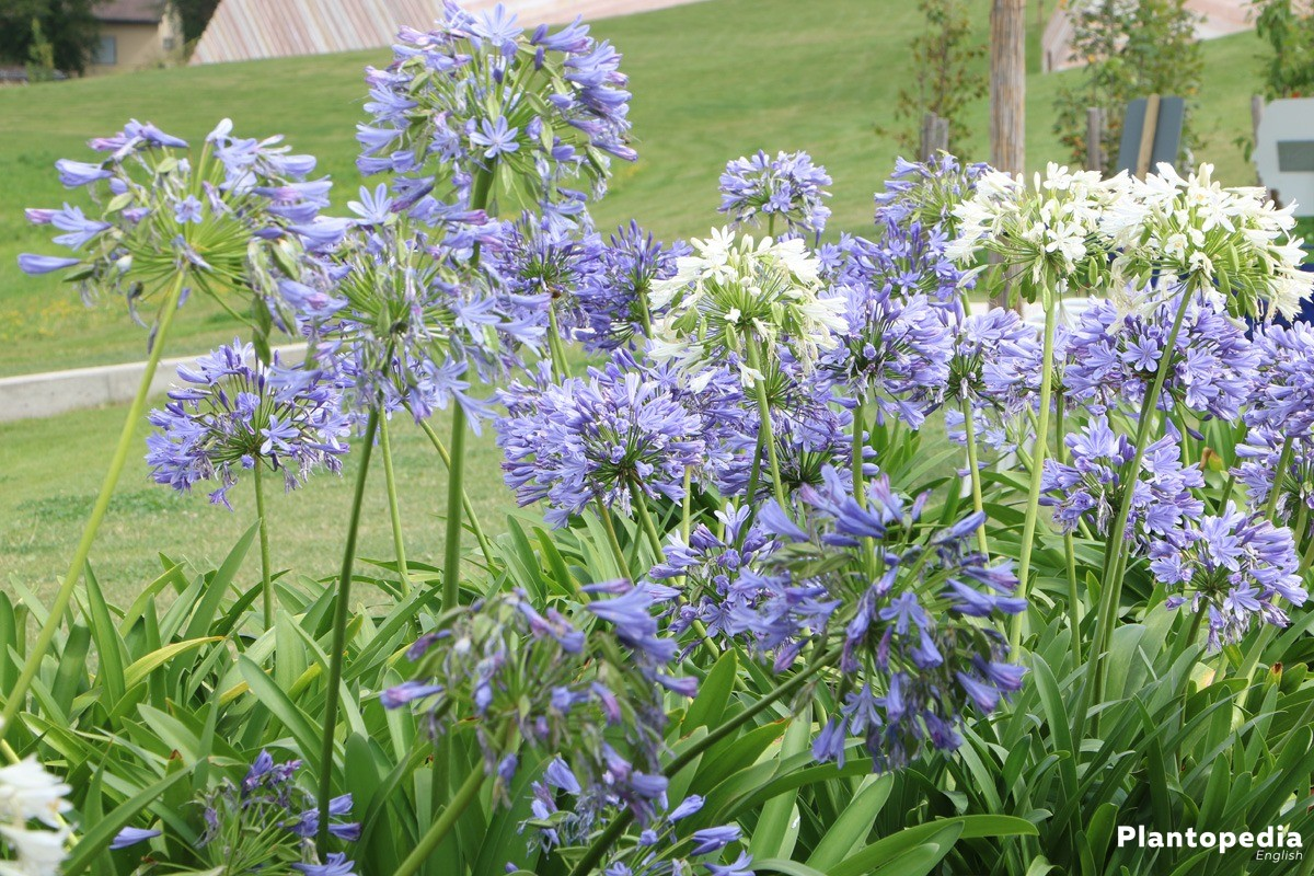 The lily of the nile flower agapanthus plant how to grow and care the lily of the nile agapanthus attracts all the attention this is mostly due to the inflorescences reaching heights of up to two meters izmirmasajfo