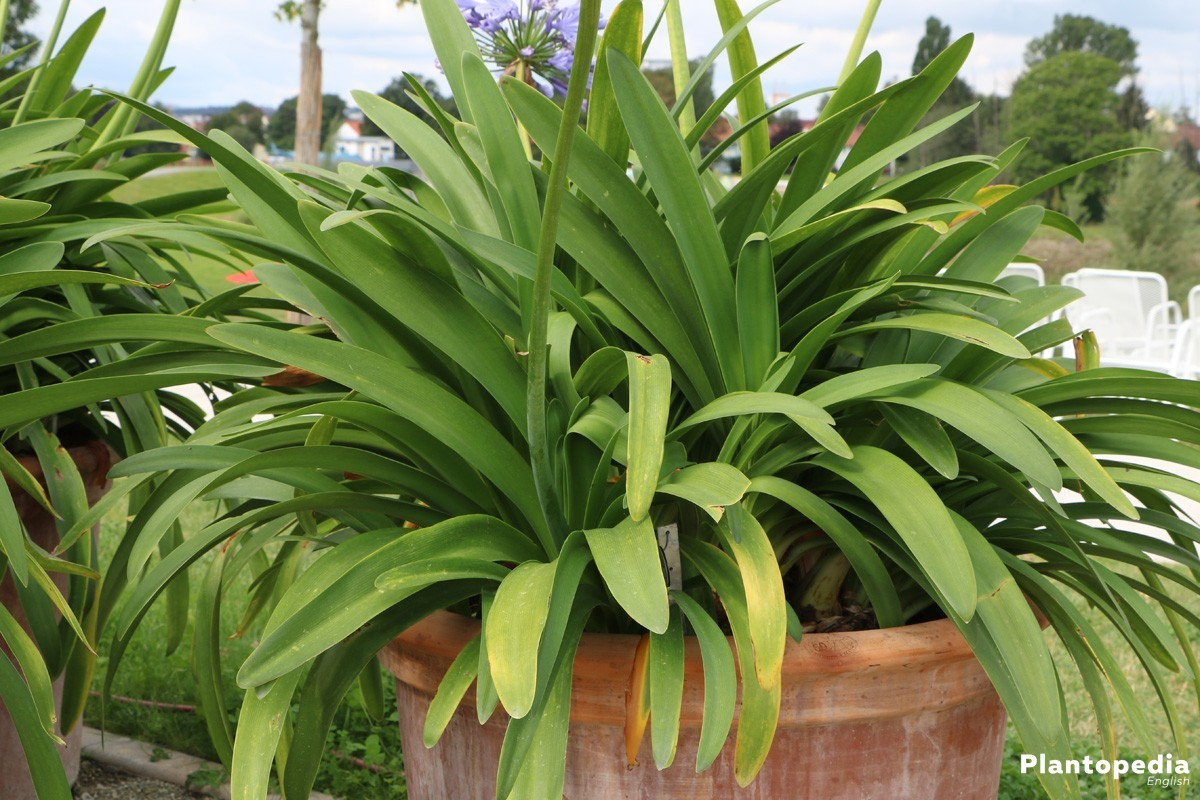 The lily of the nile flower agapanthus plant how to grow and care agapanthus repot izmirmasajfo