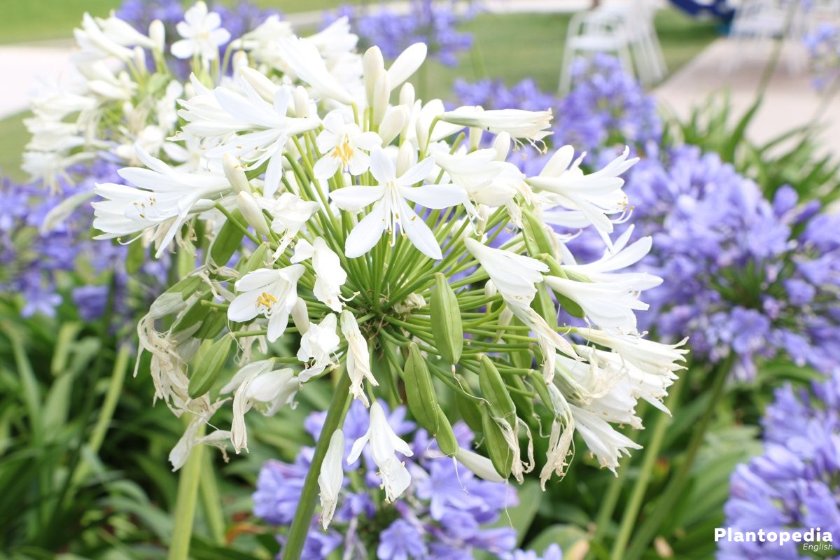 The lily of the nile flower agapanthus plant how to grow and care agapanthus cut flower izmirmasajfo