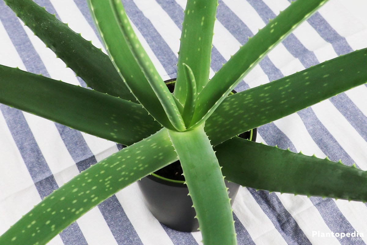 aloe vera plant care lean how to grow aloe indoors plantopedia. Black Bedroom Furniture Sets. Home Design Ideas