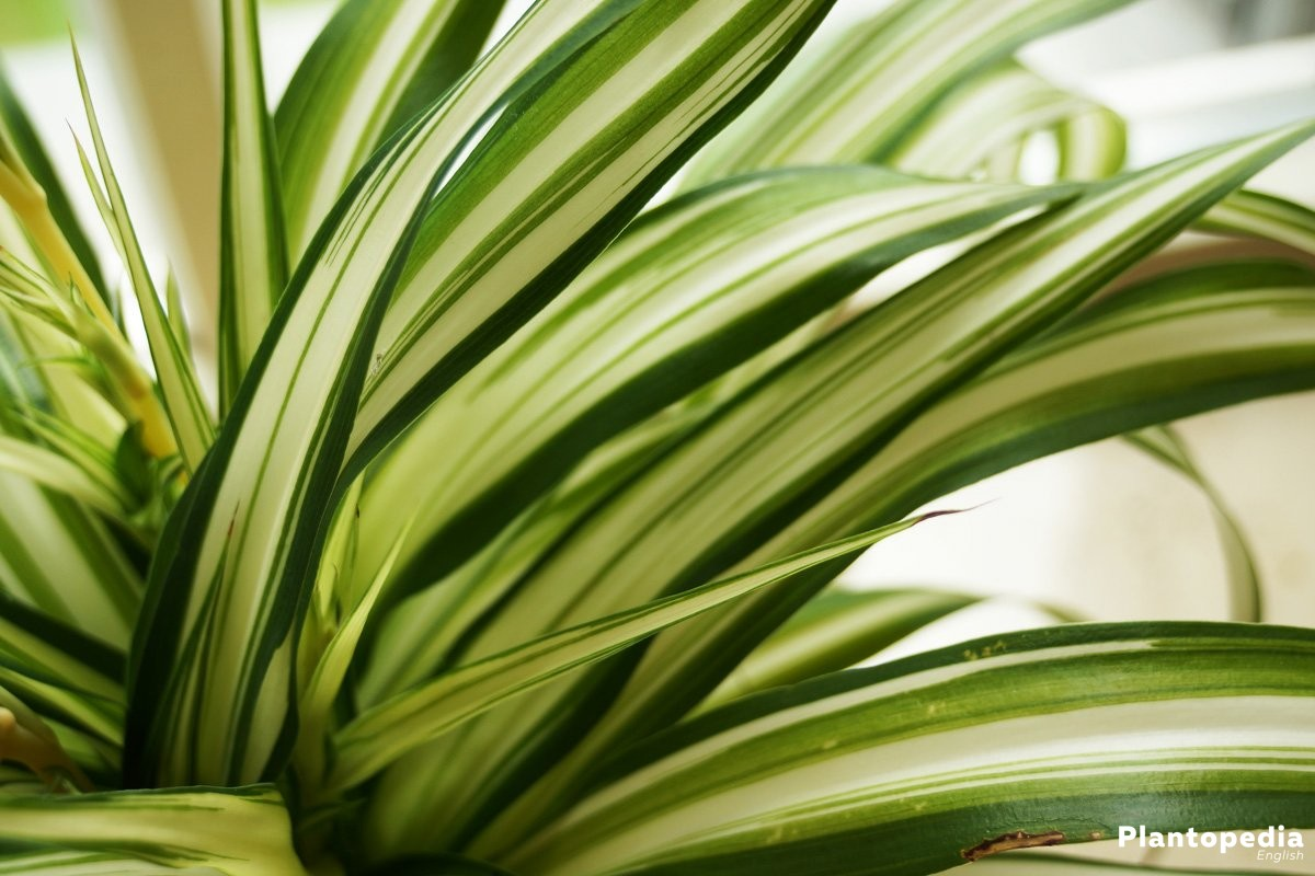 Spider Plant Chlorophytum Comosum How To Grow And Care Plantopedia