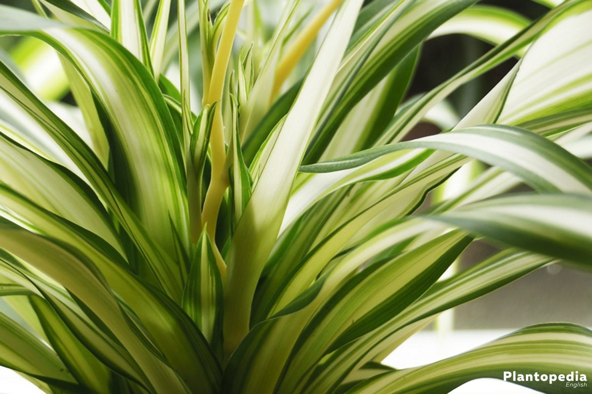 Spider Plant is fast-growing and easy-care