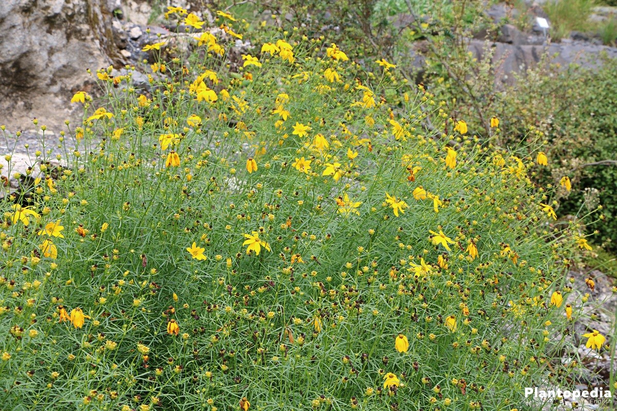 Coreopsis - a beautiful plant in the garden