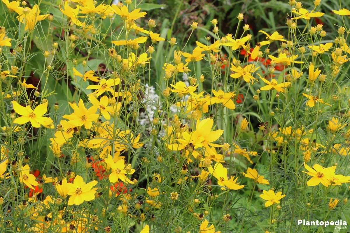 Plains Coreopsis, Calliopsis with bright yellow blossoms
