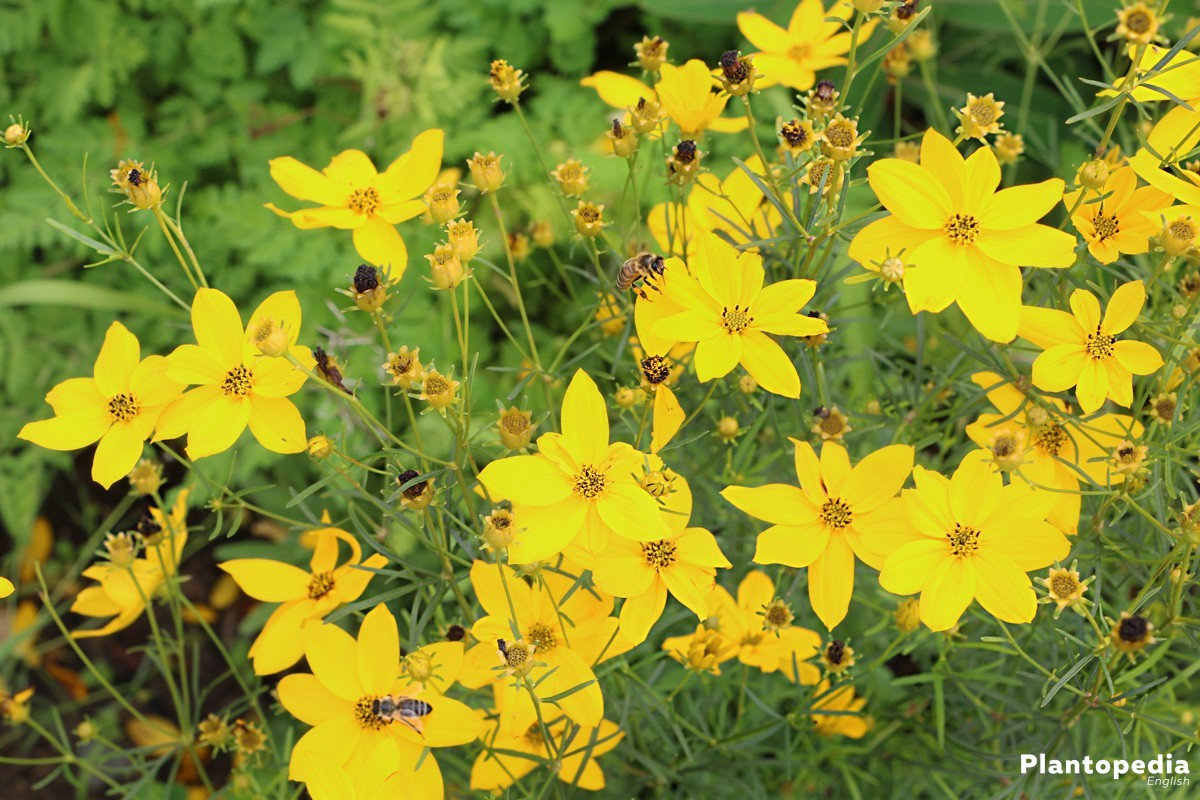 Tickseed Coreopsis Calliopsis How To Grow And Care Plantopedia