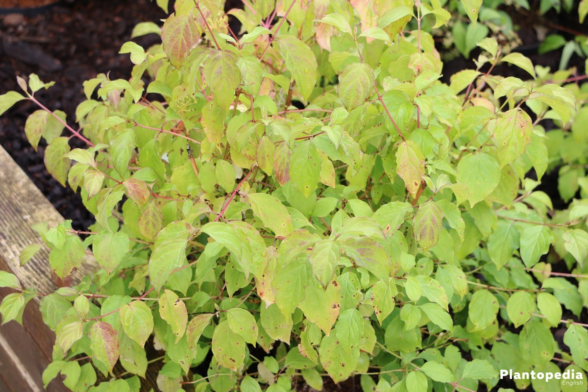 Cornus - its leaves are summergreen, in autumn they turn orange to burgundy
