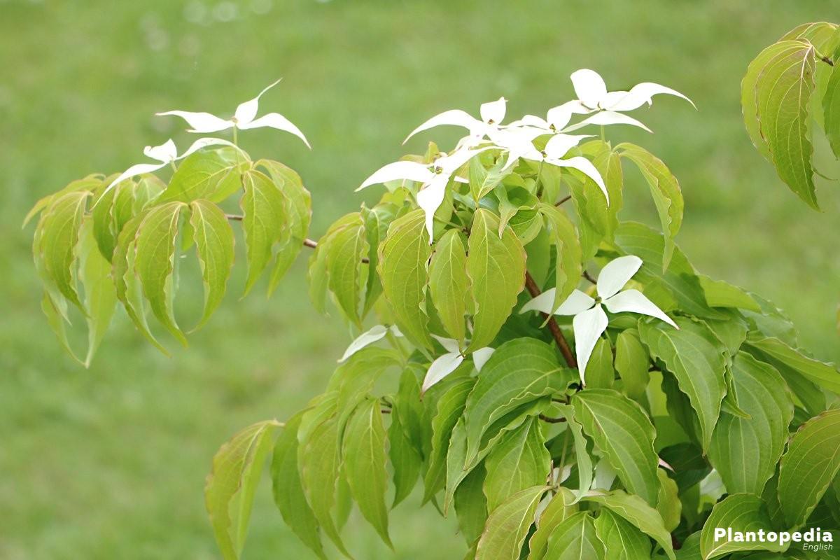 Plant Cornus - Family: Dogwoods (Cornaceae)