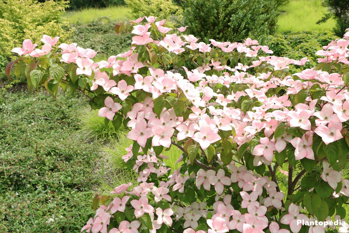 Cornus, Dogwood with pink-colored blossoms