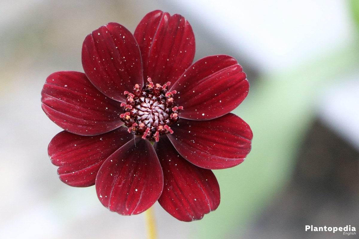 Cosmos atrosanguineus, Chocolate Cosmos flower - How to care ...