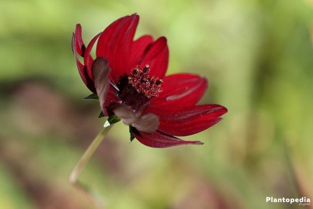 Chocolate Cosmos flower - exhales a chocolate fragrance