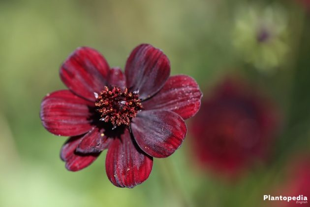 Cosmos atrosanguineus with dark red velvet flowers