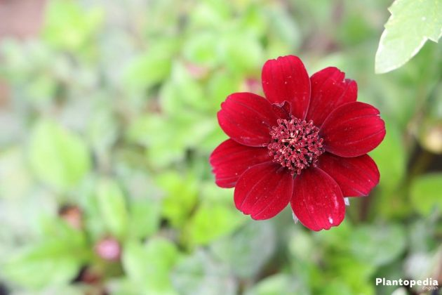 Chocolate Cosmos flower with dark red blooms