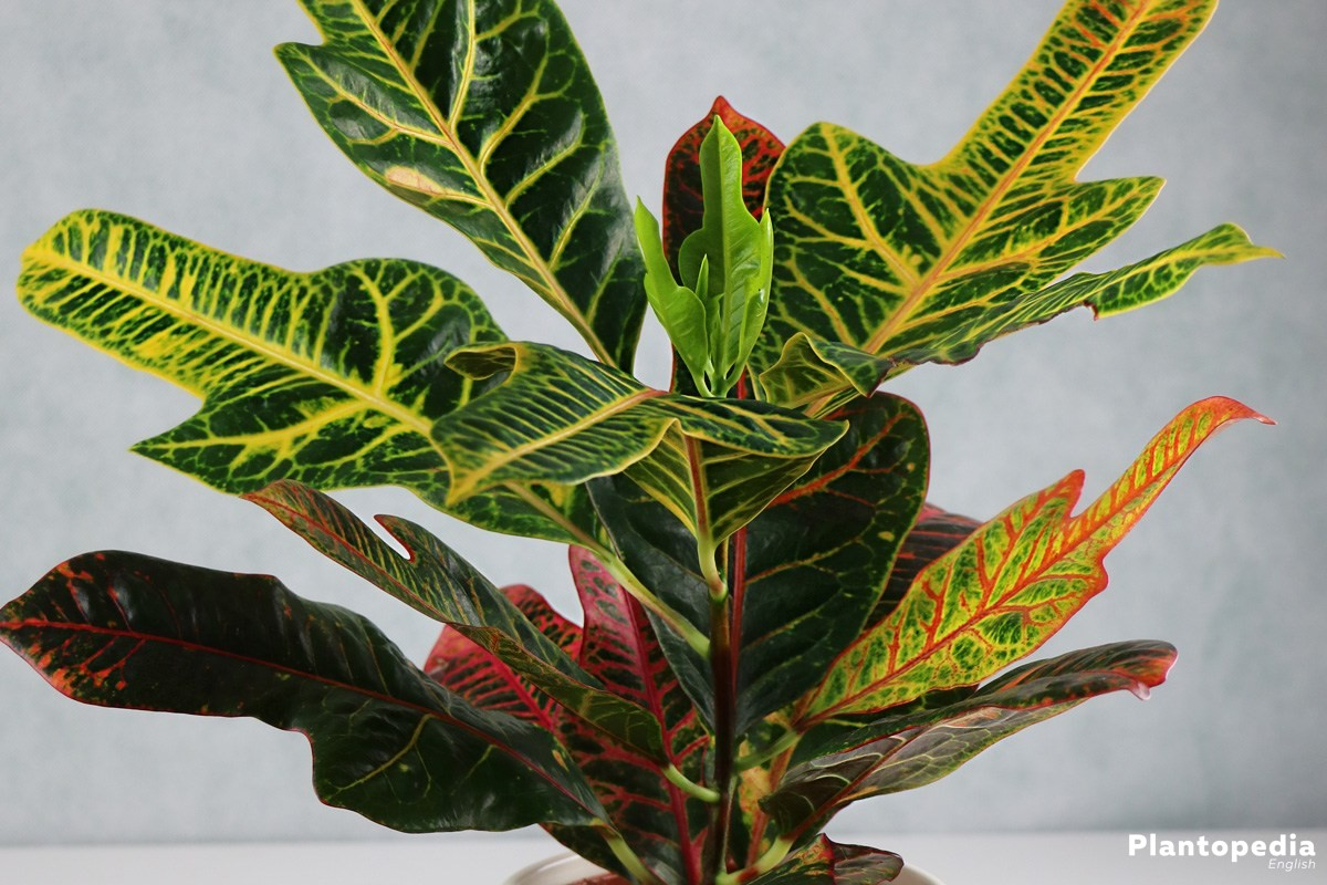 Codiaeum Variegatum with leaves in rich autumn colors