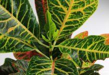 Codiaeum Variegatum, Garden Croton