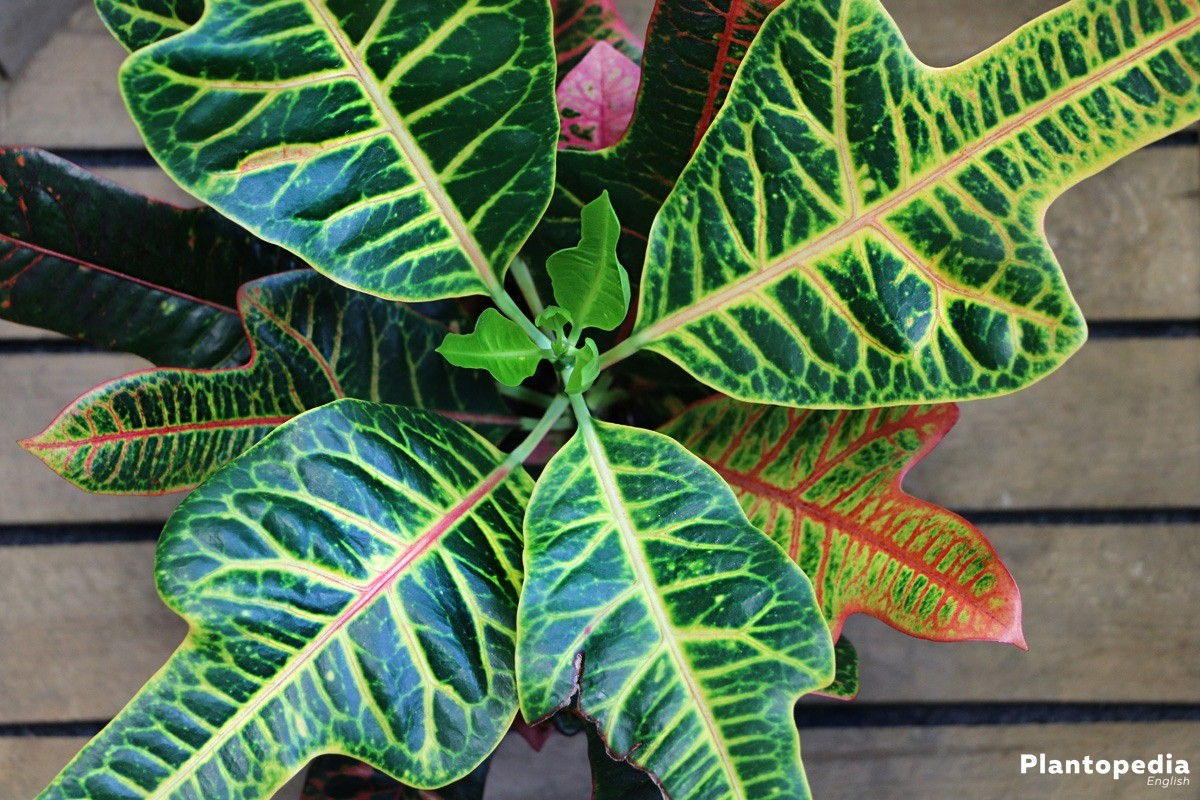 Garden Croton - a very decorative plant