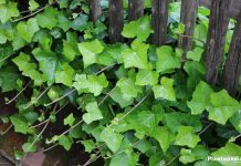 Ivy, Ivy As An Indoor Plant, Hedera Helix