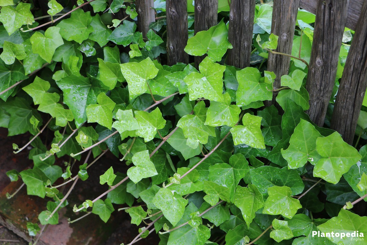 How to Plant Ivy forecasting