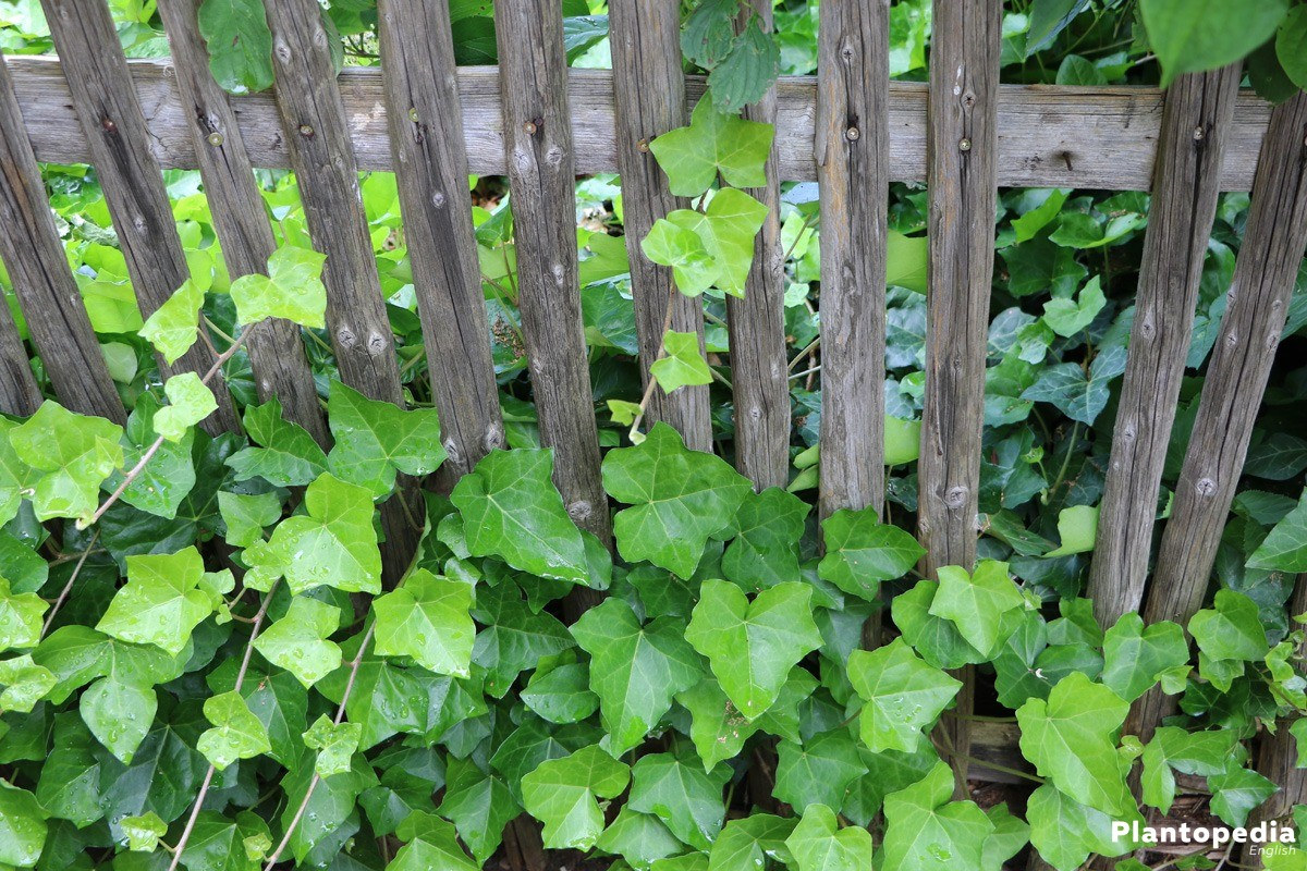 Ivy, Hedera Helix a climbing decorative leaf-plant