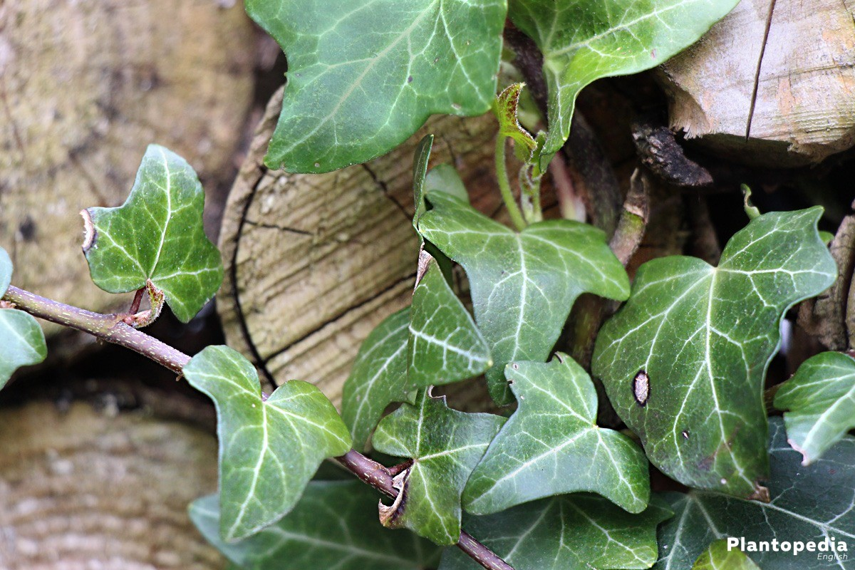 Ivy, Hedera Helix has multi-lobed leafs in crème to dark green