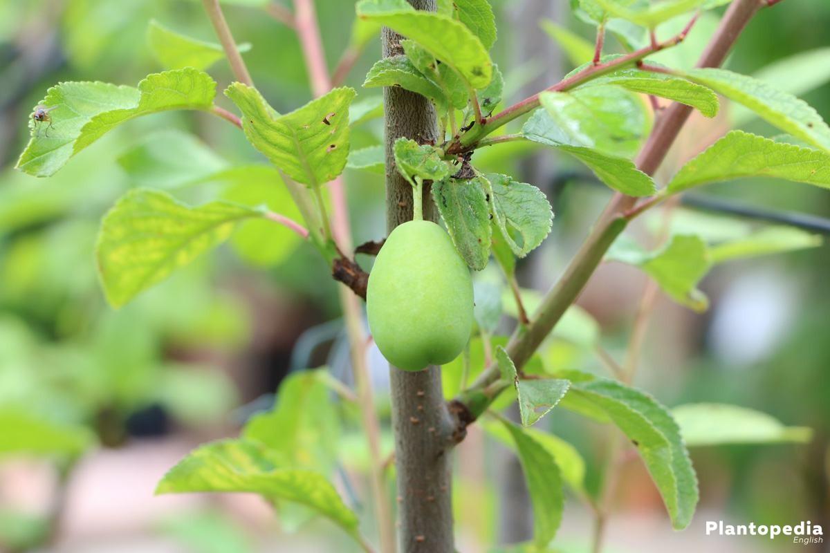 Lonicera kamtschatica - a wooding climbing plant