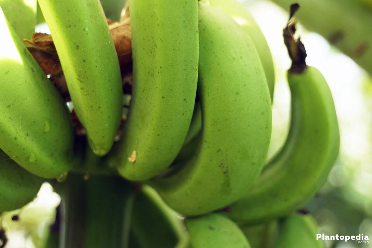 Banana Tree Hardy Banana Musa Basjoo How To Grow From