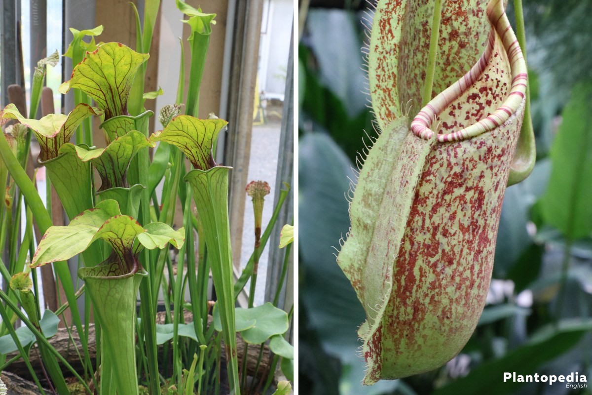 nepenthes, pitcher plants