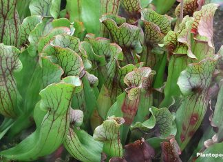 Kannenpflanzen - exotische Pflanzen