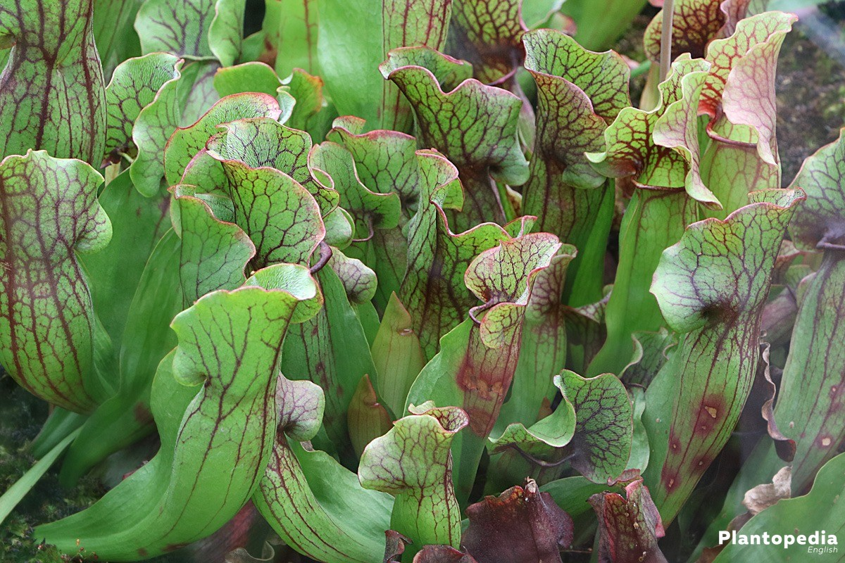 Nepenthes Pitcher Plant Care Learn How To Grow And Care