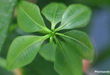 Indoor Yucca Plant Yucca Elephantipes Tree How To Grow