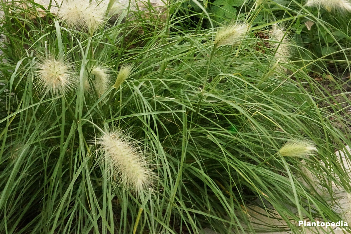 Chinese Pennisetum - one of the most beautiful grasses