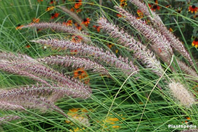 Chinese pennisetum - decorates every part of the garden