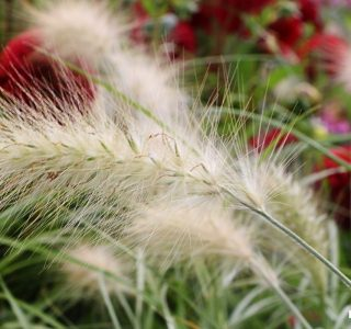 dwarf fountain grass - make great fill-ins in beds