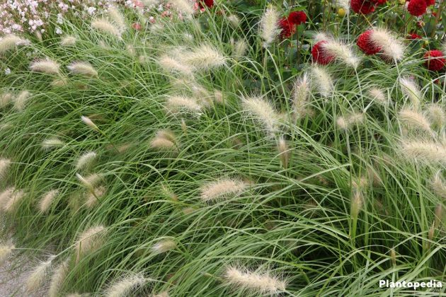 Chinese Pennisetum, Pennisetum Alopecuroides - a wonderful grass in the garden