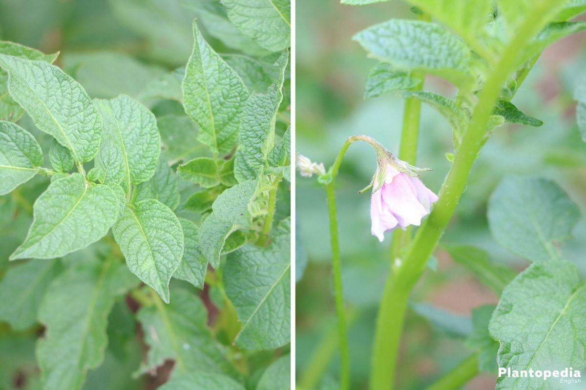 solanum tuberosum plant