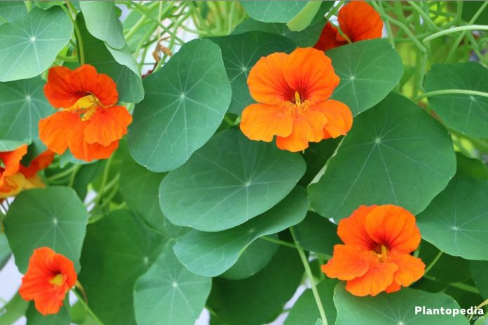 Nasturtium Flower Tropaeolum How To Grow And Care