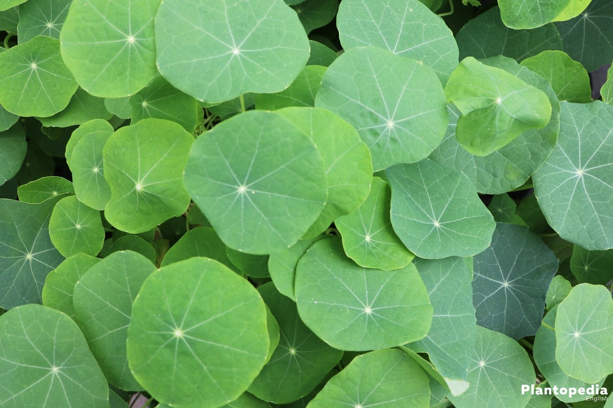 leaves of nasturtium