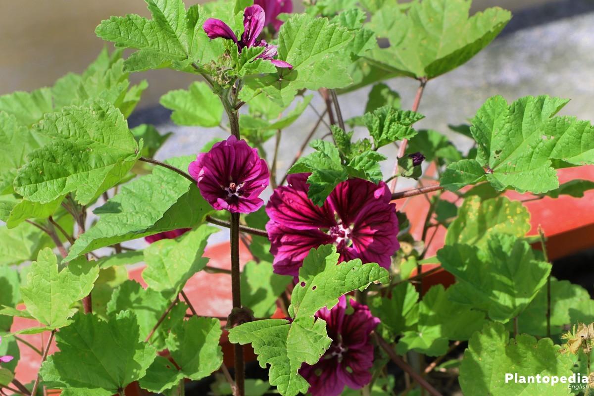 Hollyhock Flower, Alcea Rosea in the garden