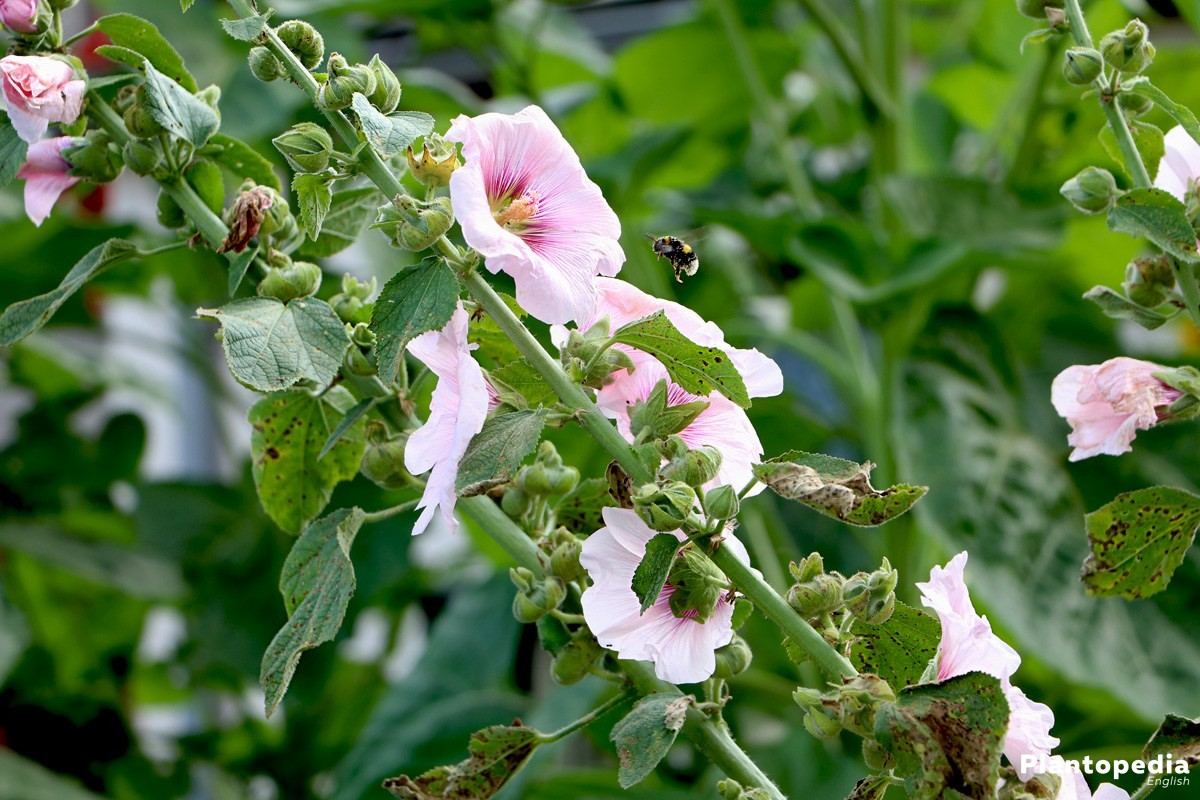 Alcea Rosea also called common hollyhock, common peony