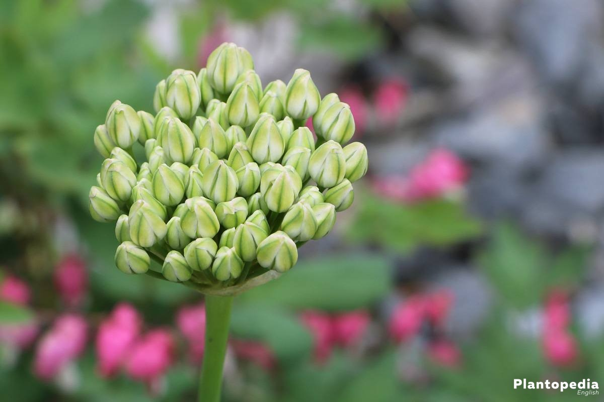 Allium Flower Bulbs How To Plant Grow And Core For Allium