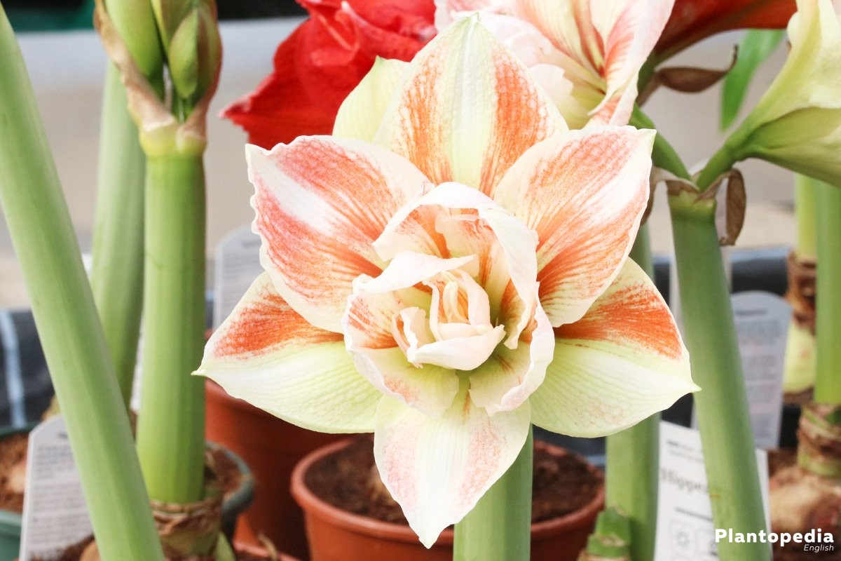 Amaryllis, Hippeastrum with large blossom