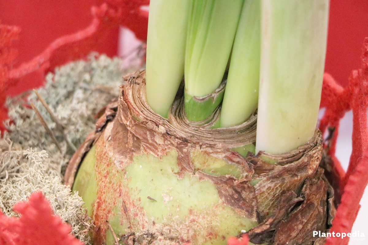 Hippeastrum - stores nutrients from leaves in the flower bulb