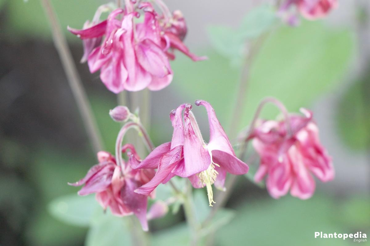 Aquilegia with different blossom colors