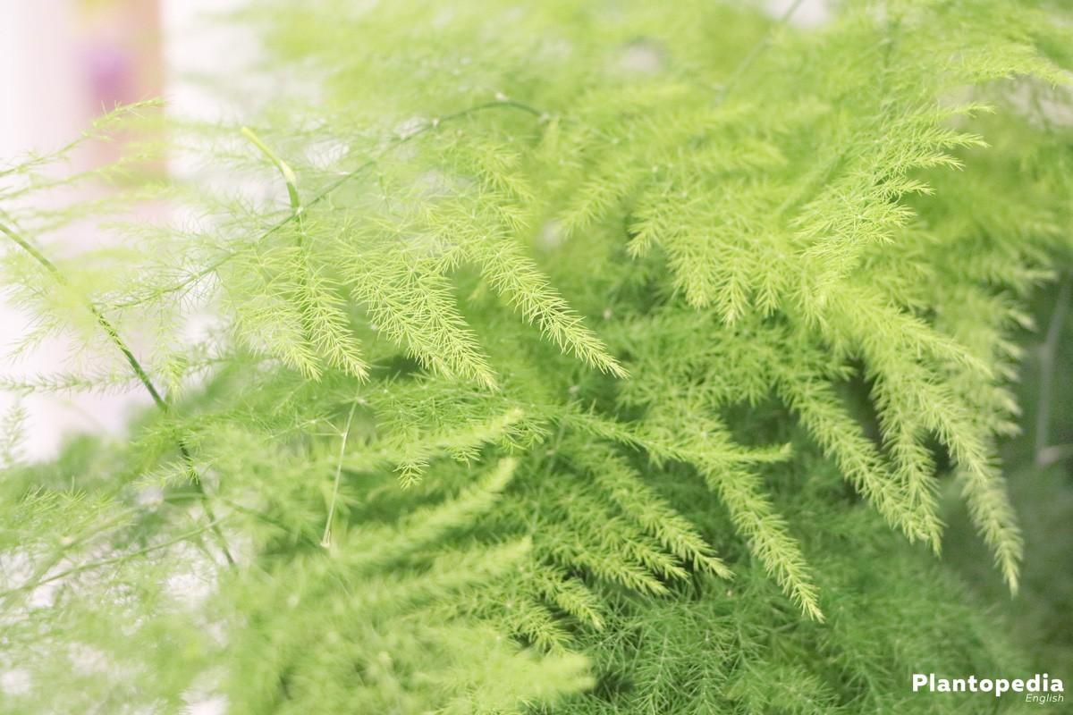 Asparagus plumosus nanus